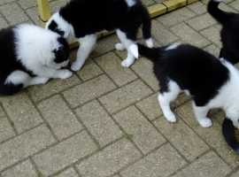 longed haired border collie pups