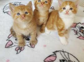3 ginger kitten