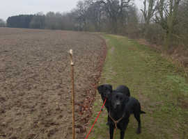 Labrador Retrievers In Essex Dogs Puppies For Sale