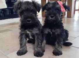 Adorable minature shnauzer puppies