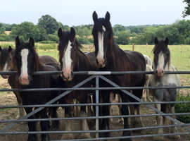 Horses and ponies wanted cash hassle free sale