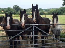 Horses, ponys, carts and harness wanted,