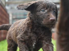 F1 Sproodle Puppy , Just 1 male Sproodle puppy left, now ready to join his forever home.