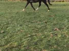 Alrounder gelding