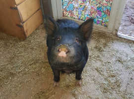 2 brother black kune kune pigs need a new home