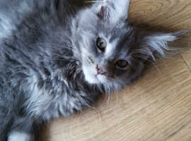 Maine Coon Cats & Kittens For Sale & Rehome in Scunthorpe | Find