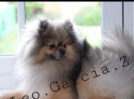 Pure Kc Wolf Pomeranian For Stud (not For Sale)