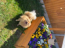 Pending.   beautiful pomerania girl tia is pregnant and getting 6 puppy's they are due 18 june