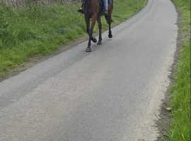 Beautiful 15.2 Tb mare