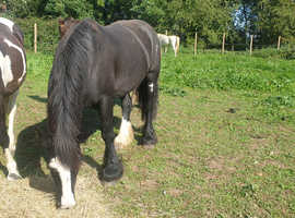 Black Jack the Cob