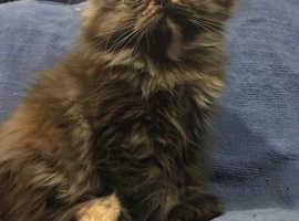Chocolate Tortie Female Persian Kitten