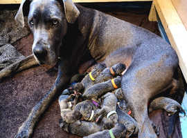 KC registered blue Great Dane  puppies