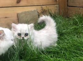Proven persian Kittens M/F