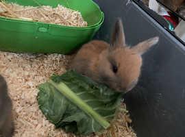 Harlequin and Golden Glavcot bunnies