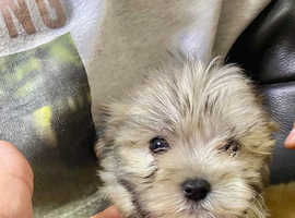 Maltese x pomchi puppy ready now fluffy tiny very small dog cute