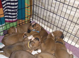 Boxer puppys for sale