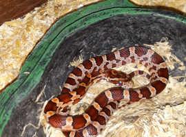 Last CB18 Corn Snake Hatchling