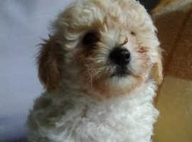 Adorable poochon puppies