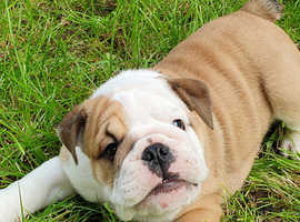 British bulldog pups ready now!