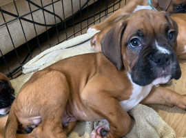 3 Male kc registred boxer puppies