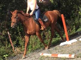 Happy hacker- low level riding horse