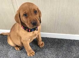 Fox Red Labrador in Merthyr Tydfil | Dogs & Puppies For Sale
