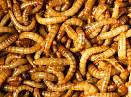 CHEAPEST OFFER!! live mealworms/colonies CHEAPEST