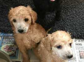 Kc registered Standard Poodle Puppies- Gorgeous Family Pets **READY NOW**