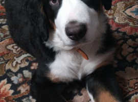 Lovely bernese mountain pup