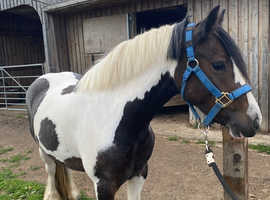 13hh 4 year old fun allrounder