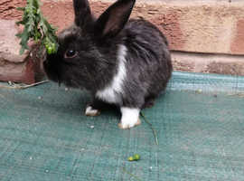Rabbit/bunny for sale