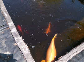 A selection of pond fish. Mainly Koi carp. Large sizes.