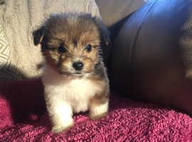 Yorkshire terrier cross chihuahua puppies for sale