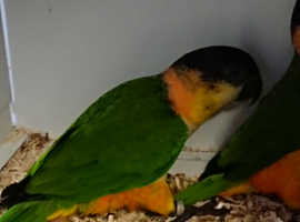 Beautiful baby Black Headed Caiques available now!!!