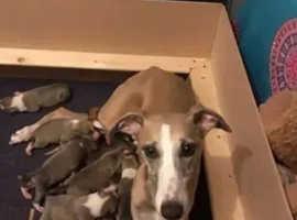 Italian Greyhound x Whippet