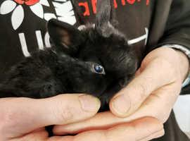 Netherland dwarf cross mini lop babies