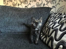 BEAUTIFUL FEMALE KITTEN VET CHECKED CAN DELIVER