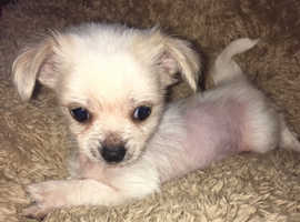 Chihuahua x Chinese crested hairless, 2 gorgeous females for sale