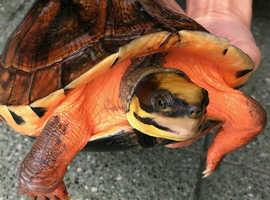 Cuora trifasciata turtle for sale