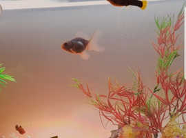 2 Guppies for sale