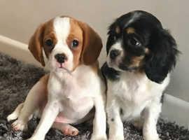 Beautiful pugalier puppies