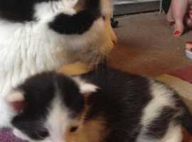1 remaining beautiful British long haired cross kittens needing forever homes