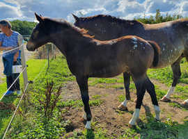Dante (May 2020 colt) for sale