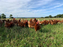 27 week old laying hens for sale