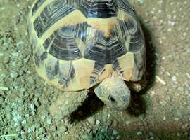 Hermann Tortoise 2 year old