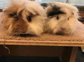 Gorgeous pair of baby long haired guinea pig boars - £45 the pair