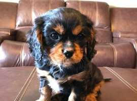 Superb Cavalier King Charles Spaniel Pups Parents Extensively Health Tested