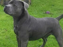 Blue Staffy For Sale : Blue staffy in leeds pets for sale rehome freeads