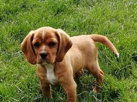Beautiful of Cocker X Beagle Girl