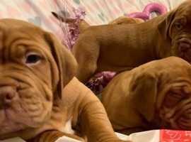 Beautiful Self Whelped Dogue De Bordeaux Puppies